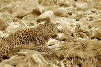 Leopard_Kill